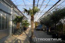 palmboom (Trachycarpus Fortunei
