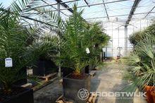 palmboom (Phoenix Canariensis)