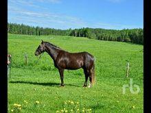 Rocky Mountain Gelding Horse