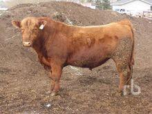 3 Year Old Red Angus Heifer Bul