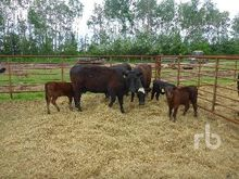 3 Year Old Registered Red Angus