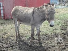 NUBIAN STANDARD Donkey Livestoc